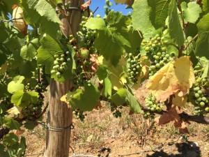 Coup de chaleur sur les vignes du Beaujolais